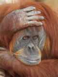 Female Sumatran Orangutan Photographic Print by Adam Jones
