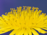 Common Dandelions in Great Smokey Mountains National Park, Tennessee, USA Photographic Print by Adam Jones