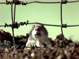 A Young Prairie Dog Photographic Print
