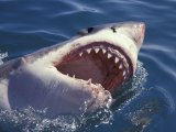 Dangerous Mouth of the Great White Shark, South Africa Photographie par Michele Westmorland