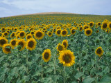 Sunflower Field, Provence, France Photographic Print by Gavriel Jecan
