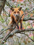 Red Fox in Tree Photographic Print by Adam Jones