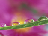 Asters in Water Droplets Photographie par Adam Jones