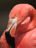 Chilean Flamingo Photographic Print by Adam Jones