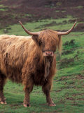 Scottish Highland Cattle, Isle of Skye, Scotland Photographic Print by Gavriel Jecan