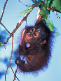 Baby Orangutan, Tanjung Putting National Park, Indonesia Fotografisk tryk af Keren Su