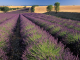 Lavender Field, Provence, France Photographic Print by Gavriel Jecan
