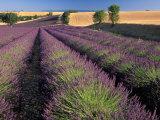 Lavender Field, Provence, France 写真プリント : ガブリエル・ジェカン
