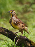 Eastern Meadowlark Photographic Print by Adam Jones