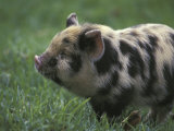 Domestic Farmyard Piglet, South Africa Photographic Print by Stuart Westmoreland