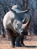 White Square-Lipped Rhino, Namibia Reprodukcja zdjęcia autor Claudia Adams