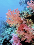 Colorful Sea Fans and other Corals, Fiji, Oceania Photographic Print by Georgienne Bradley