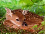 White-tailed Deer Baby, Kentucky Photographic Print by Adam Jones