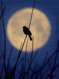 A Bird is Silhouetted against a Full Moon Before Sunrise Friday Morning Photographic Print