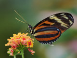 Tiger Butterfly Photographic Print by Adam Jones
