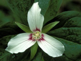 Painted Trillium, Port Huron, Michigan, USA Photographic Print by Claudia Adams
