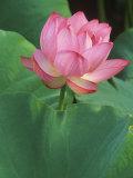 Ohga Lotus, Sankei-en Garden, Yokohama, Japan Fotografie-Druck von Rob Tilley