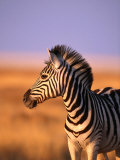 Portrait of Young Burchells Zebra (Equus Burchelli), Etosha National Park, Namibia Photographic Print by Andrew Parkinson
