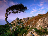 Wind-Sculpted Tree on Rocky Hillside, Connemara, Ireland Lámina fotográfica por Cummins, Richard