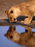 Lioness (Panthera Leo) Surprised by Her Reflection Growls in Anger, Chobe National Park, Botswana Photographic Print by Andrew Parkinson