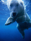 Polar Bear Swimming Underwater in Alaska Zoo, USA Lámina fotográfica por Mark Newman