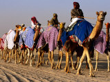 Race Camels Walk to Kuwait Camel Racing Club for Training Session, Kuwait Fotografiskt tryck av Mark Daffey