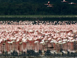Flamingoes, Lake Nakuru National Park, Kenya Photographic Print by Tom Cockrem