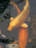 Huge Gold Fish in Pond at Senso-Ji Temple, Tokyo, Japan Fotografisk tryk af Greg Elms