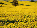 Field of Oil-Rape Seed, Spring, Harvington, United Kingdom Photographic Print by Barbara Van Zanten
