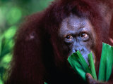 Orang-Utan at Singapore Zoological Gardens, Singapore, Singapore Photographic Print by Phil Weymouth