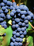 Pinot Noir Grapes Hanging on a Vine, South Africa Photographic Print by Christer Fredriksson