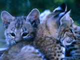 Bobcats (Felis Rufus), U.S.A. Fotografisk tryk af Mark Newman