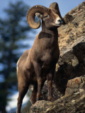 Rocky Mountain Bighorn Sheep on Side of Mountain, Yellowstone National Park, USA Photographic Print by Carol Polich