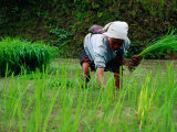 Ifugao Women Transplanting Rice, Banaue, Philippines Photographic Print by Richard I'Anson