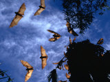 Flying Foxes (Bats) at Dusk, Mataranka, Australia Reproduction photographique par Regis Martin