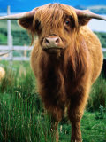 Highland Cow, Hope, United Kingdom Photographic Print by Mark Daffey