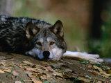 Wolf (Canis Lupus) Lying Down, USA Fotografisk trykk av Carol Polich