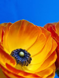Detail of Ranunculus, Melbourne, Australia Photographic Print by Regis Martin