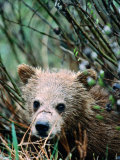 Grizzly Cub in Grass (Ursus Arctos), Denali National Park & Preserve, U.S.A. Photographic Print by Mark Newman