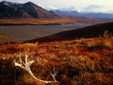 Caribou Antlers on the Tundra in Denali National Park, Denali National Park & Reserve, USA Fotografiskt tryck av Mark Newman