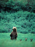 Brown Bear and Cubs, Mikfik Creek, U.S.A. Fotografisk tryk af Mark Newman