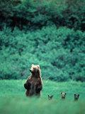 Brown Bear and Cubs, Mikfik Creek, U.S.A. 写真プリント : マーク・ニューマン
