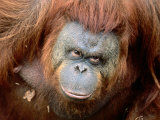 Orang-Utan in Zoo, Taman Safari Indonesia, Surabaya, Indonesia Photographic Print by Jane Sweeney