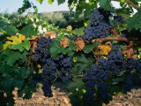 Grapes Growing at Mirassou Vineyards, San Jose, USA Photographic Print by John Elk III