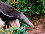 Captive Giant Anteater (Myrmecophaga Tridactyla), Brazil Photographic Print by Mark Newman