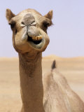 Cheeky Dubai Camel in Desert, Dubai, United Arab Emirates Photographic Print by Holger Leue