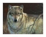 Uninterrupted Stare: Gray Wolf Affiches par Joni Johnson-godsy