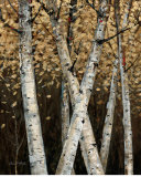 Shimmering Birches I Prints by Arnie Fisk