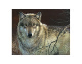 Uninterrupted Stare: Gray Wolf Poster par Joni Johnson-godsy