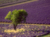 Lavender Field in High Provence, France Photographic Print by David Barnes